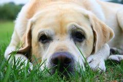 El dormir amarillo de Labrador Imágenes de archivo libres de regalías