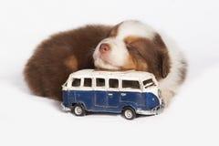 El dormir australiano del perro de perrito del pastor Imagenes de archivo