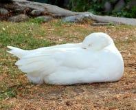 El dormir blanco del ganso Imágenes de archivo libres de regalías