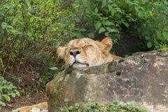 El dormir blanco del león Imágenes de archivo libres de regalías
