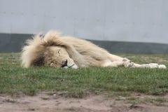 El dormir blanco del león foto de archivo
