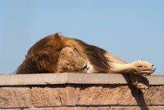 El dormir blanco del león Fotos de archivo libres de regalías