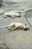El dormir blanco y marrón del perro Imágenes de archivo libres de regalías