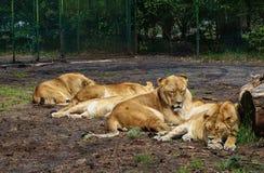 El dormir cansado de la leona Fotos de archivo