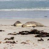 El dormir cinerea de Neophoca de los leones marinos australianos en la playa de la isla del canguro, sur de Australia, bahía del  imágenes de archivo libres de regalías