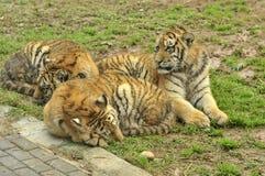 El dormir Cubs fotografía de archivo libre de regalías