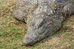 El dormir de Aligator Fotografía de archivo