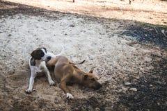 El dormir de dos perros Fotos de archivo libres de regalías