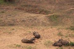 El dormir de la familia de rinoceronte blanco Fotos de archivo