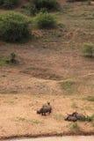 El dormir de la familia de rinoceronte blanco Fotos de archivo libres de regalías