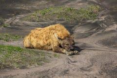 El dormir de la hiena Foto de archivo