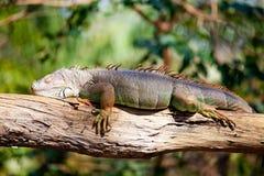 El dormir de la iguana Fotos de archivo libres de regalías