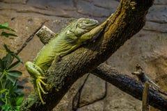 El dormir de la iguana. Imagenes de archivo