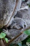 El dormir de la koala del bebé Fauna Sydney Zoo Nuevo Gales del Sur australia imagen de archivo libre de regalías