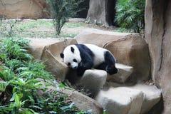 El dormir de la panda gigante Foto de archivo libre de regalías