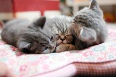 El dormir de los bebés de británicos Shorthair Fotografía de archivo