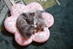 El dormir de los bebés de británicos Shorthair Imagenes de archivo