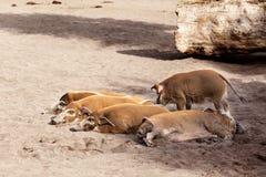 El dormir de los cerdos Imagen de archivo libre de regalías