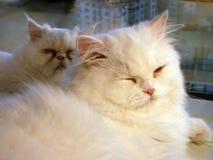 El dormir de los gatos Imagen de archivo libre de regalías
