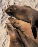 El dormir de los leones de mar Foto de archivo