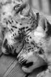 El dormir de los leopardos de nieve. Foto de archivo