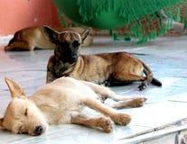 El dormir de los perros Fotografía de archivo