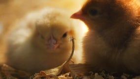 El dormir de los pollos del bebé metrajes