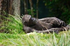 El dormir de reclinación del chimpancé en la hierba Fotos de archivo libres de regalías
