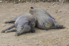 El dormir de Wildhog Fotografía de archivo libre de regalías