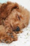 El dormir del caniche de juguete Fotografía de archivo