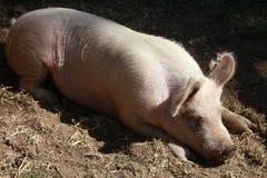 El dormir del cerdo Imagen de archivo libre de regalías