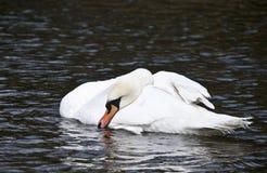 El dormir del cisne Foto de archivo libre de regalías