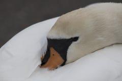 El dormir del cisne mudo Foto de archivo libre de regalías