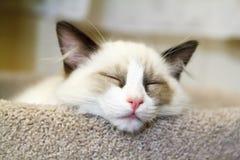 El dormir del gatito de Ragdoll Fotos de archivo