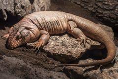 El dormir del lagarto Fotos de archivo