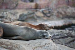 El dormir del león marino Imágenes de archivo libres de regalías