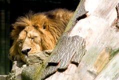 el dormir del león Foto de archivo libre de regalías