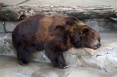 El dormir del oso Imágenes de archivo libres de regalías