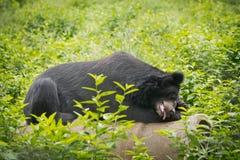 El dormir del oso Fotos de archivo libres de regalías