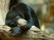 El dormir del oso de Sun Foto de archivo libre de regalías