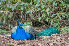 El dormir del pavo real Fotografía de archivo libre de regalías