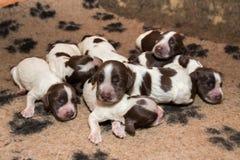 El dormir del perrito de cocker spaniel del inglés Fotografía de archivo libre de regalías