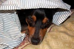 El dormir del perrito imagen de archivo libre de regalías
