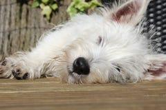El dormir del perrito de Westie Foto de archivo