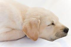 El dormir del perrito del laboratorio Fotografía de archivo libre de regalías