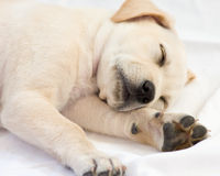 El dormir del perrito del laboratorio fotos de archivo libres de regalías