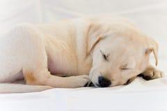 El dormir del perrito del laboratorio imagen de archivo libre de regalías