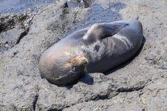 El dormir del perrito del león marino foto de archivo