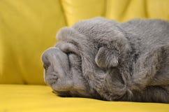 El dormir del perrito del sharpei del bebé Imágenes de archivo libres de regalías