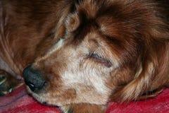 El dormir del perro Fotografía de archivo libre de regalías